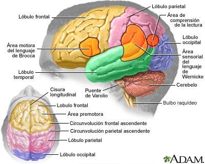Partes de cerebro aplicadas a la musica